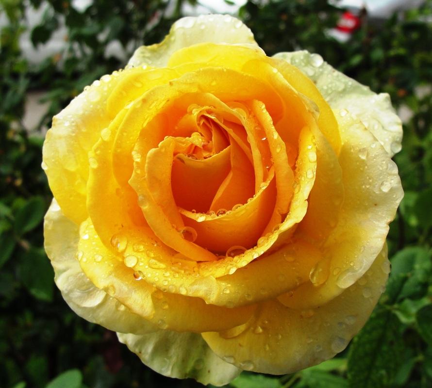 Роза мохана фото