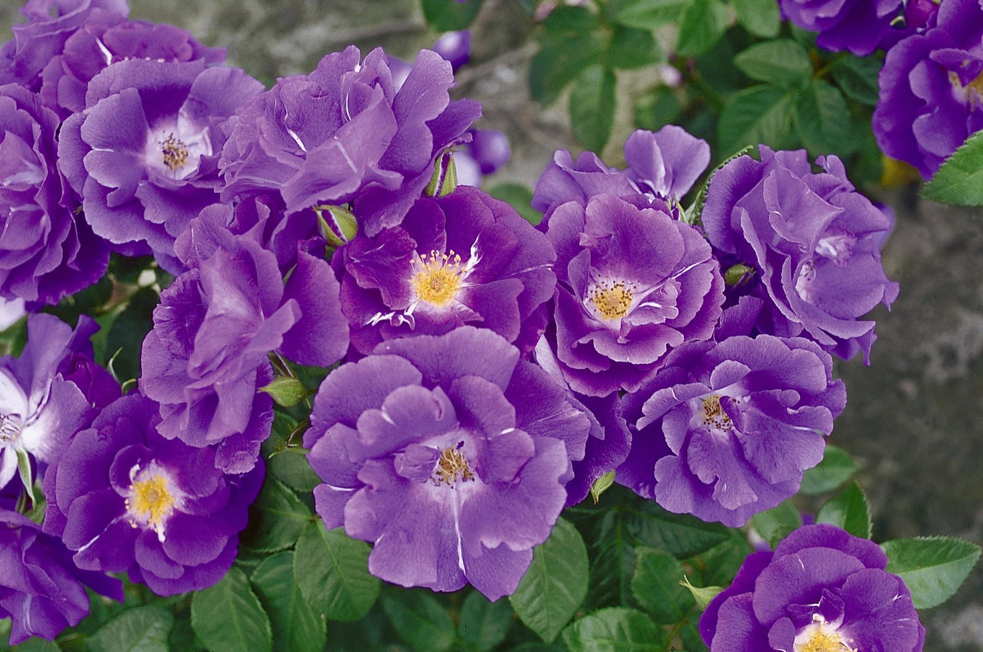каждого роза рапсодия ин блю фото и описание заявил, что