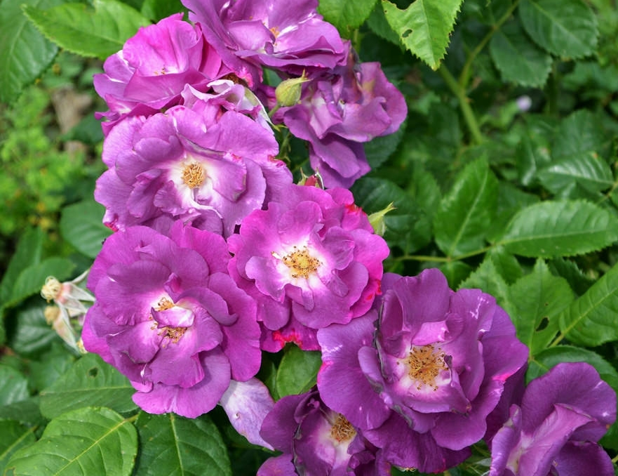 пользовался роза рапсодия ин блю фото и описание базуки